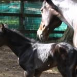 Equine Herpes Virus Abortion
