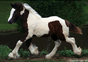 The Mystical Gypsy Cob