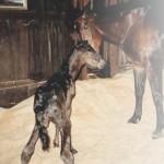 The Arrival of a Newborn Foal