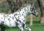 SPORTALOOSA KNABSTRUPPER the horse with CHARACTER